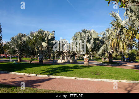 Bismarck palms, Bismarckia nobilis in La Batería Park, Torrremolinos, Andalusia, Spain. - Stock Photo