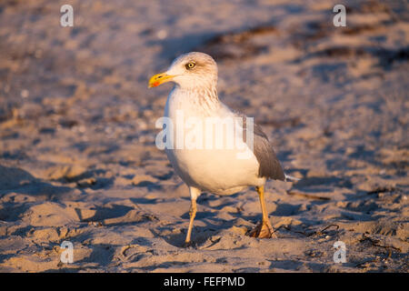 Lesser black-backed gull (Larus fuscus) on the beach, Prerow, Darß, Fischland-Zingst, Mecklenburg-Western Pomerania, - Stock Photo