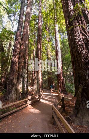 Path, coast redwoods (Sequoia sempervirens), Muir Woods National Park, California, USA - Stock Photo