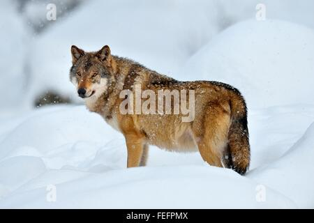 Eurasian wolf, also common wolf or Middle Russian forest wolf (Canis lupus lupus) standing in snow, Canton of Schwyz - Stock Photo