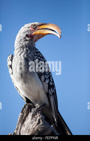 Yellow billed horn bill - Stock Photo