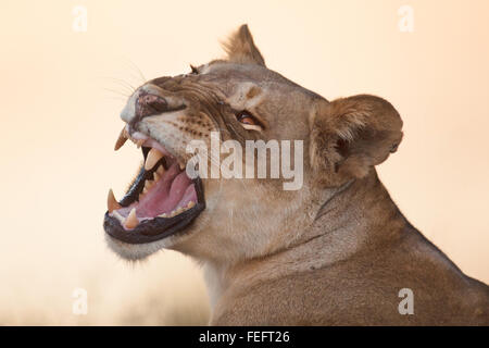 Lioness in the open bushveld - Stock Photo