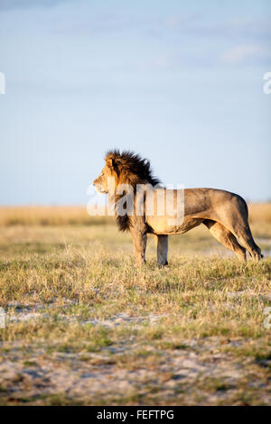 African Lion in the bushveld - Stock Photo