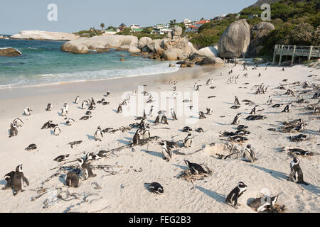 African Penguins on Boulders Beach, Simon's Town, Cape Peninsula, City of Cape Town Municipality, Western Cape, - Stock Photo