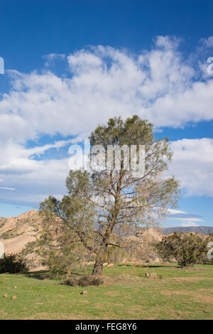 Lone tree lives in California state park on the edge of the Mojave desert.