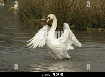Mute swan with outstretched wings (Cygnus olor) - Stock Photo