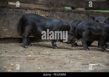 little piglets in a pigsty - Stock Photo
