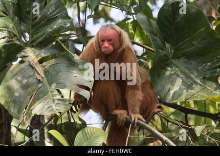 Red bald-headed Uakari monkey also known as British Monkey (Cacajao calvus rubicundus), Amazon state, Brazil - Stock Photo