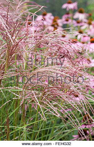 Miscanthus sinensis 'Flamingo' growing in front of Echinacea flowers. - Stock Photo