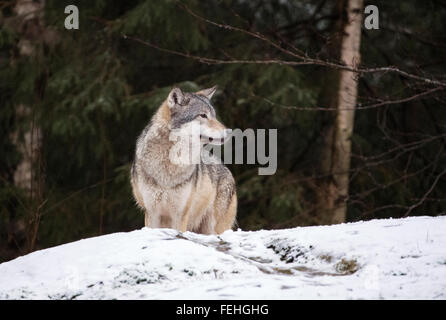 European grey wolf in snow with trees behind - Stock Photo