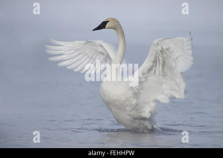 Trumpeter Swan (Cygnus buccinator), A foggy day on the river - Stock Photo