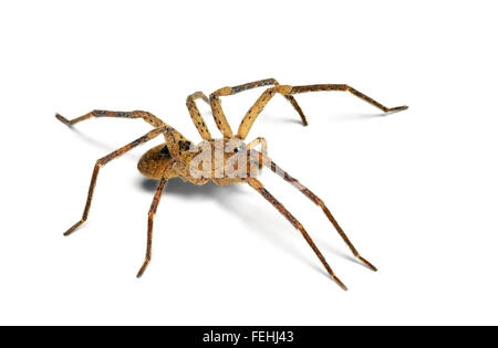 Isolated spider (Zoropsis spinimana) - Stock Photo