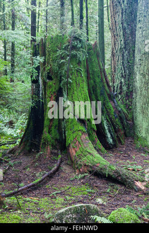 Rotting stump of a large Western Red Cedar tree in a temperate rain forest - Stock Photo