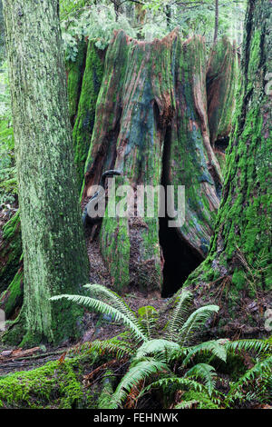 An old large stump of a Western Red Cedar tree - Stock Photo
