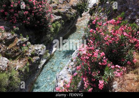 Blossoming rhododendron in a brook, Samaria gulch, Crete - Stock Photo