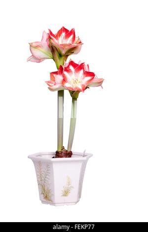Amaryllis Minerva, indoor pot plant. - Stock Photo