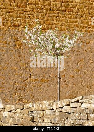 Apple Tree In Blossom Against Stone Wall - Stock Photo