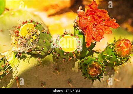 Cactus In Bloom - Stock Photo