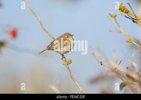 Siberian Chiffchaff, Phylloscopus collybita tristis, autumn passage, england, - Stock Photo