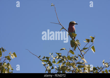 Lilac-Breasted Roller Perching On Tree Against Clear Blue Sky - Stock Photo