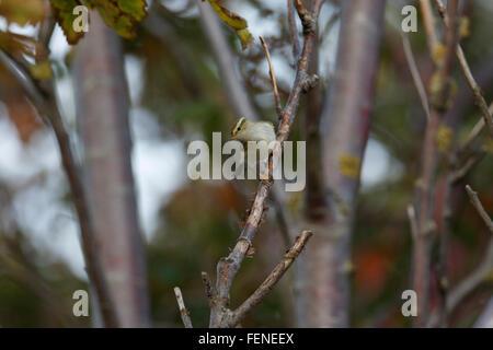 Yellow-browed Warbler, Phylloscopus inornatus, - Stock Photo