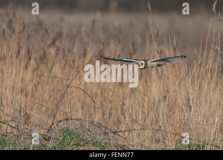 Short-eared Owl-Asio flammeus hunts. Winter. Uk - Stock Photo