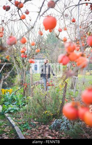 View through persimmon tree of mid adult man in garden, looking away - Stock Photo