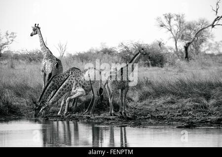 Tower of giraffes drinking at water pan, Okavango Delta, Botswana - Stock Photo