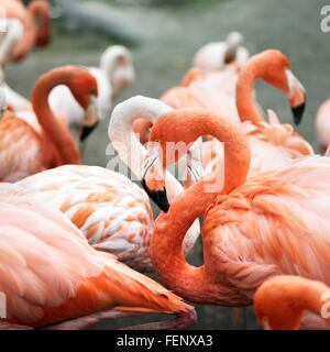 Group of wading pink flamingos