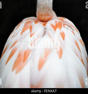 Cropped rear view of flamingo's back and neck on black background - Stock Photo