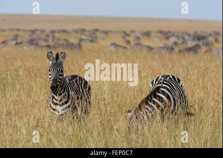 Plains zebras (Equus quagga), Masai Mara, Kenya, Africa - Stock Photo