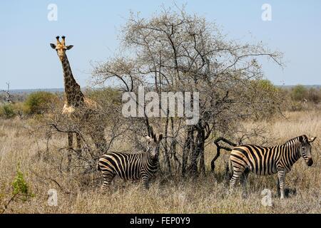 Giraffe and zebra, Kruger National Park, South Africa - Stock Photo