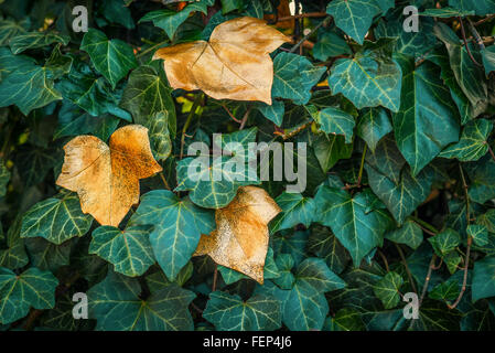 Ivy with green and golden leaves in the autumn - Stock Photo
