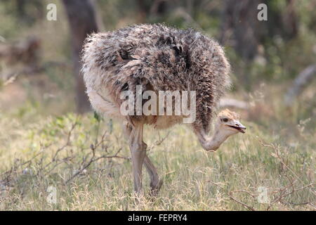 Female Ostrich walking in grasslands, Limpopo South Africa - Stock Photo