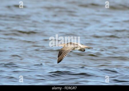 Eurasian Curlew Numenius arquata in flight