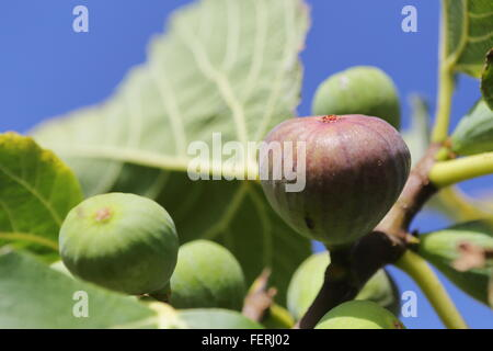 Figs ripening on a tree - Stock Photo