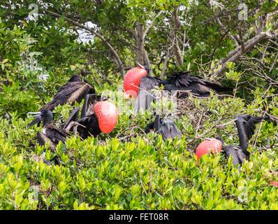 Magnificent frigatebirds (Fregata magnificens) nesting and displaying in Codrington Lagoon, Barbuda, Antigua and - Stock Photo
