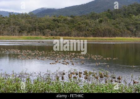 Plumed Whistling-ducks (Dendrocygna eytoni), Hasties Swamp, Atherton Tablelands, Far North Queensland, FNQ, QLD, - Stock Photo
