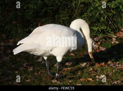 Eurasian Bewick's Swan ( Cygnus bewickii, Cygnus columbianus bewickii) - Stock Photo