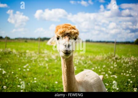 Alpaca Standing On Grassy Field - Stock Photo