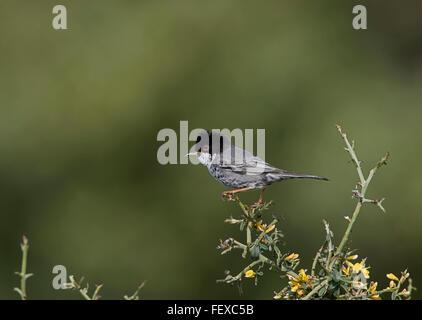 Cyprus Warbler Sylvia melanothorax adult male on territory Anarita Cyprus - Stock Photo