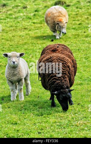 Sheep And Lamb On Grassy Field - Stock Photo