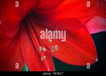 Red Amaryllis flower detail - Stock Photo