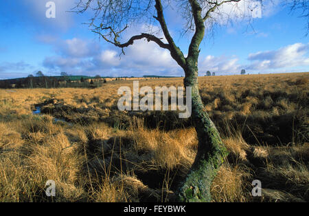 BEL, Belgium, high-moor Hohes Venn, a moor birch on the plateau of the high-moor  BEL, Belgien, Hochmoor Hohes Venn, - Stock Photo