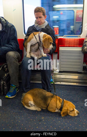 A man on a train with his two basset hounds - Stock Photo