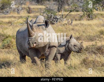 Black Rhino mother and calf - Stock Photo