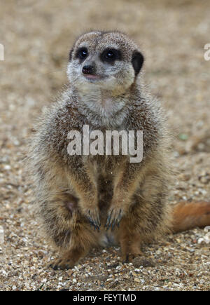 Slender Tailed Meerkat (suricata suricatta) - Stock Photo