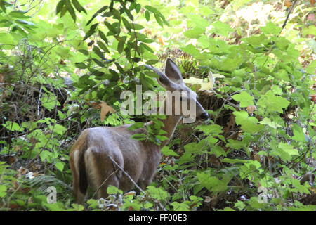 beby deer in the undergrowth - Stock Photo