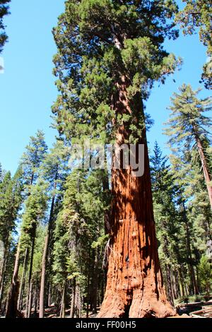 Giant trees - Stock Photo