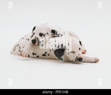 Two Dalmatian dogs, asleep, eyes closed, one resting on top of other. - Stock Photo